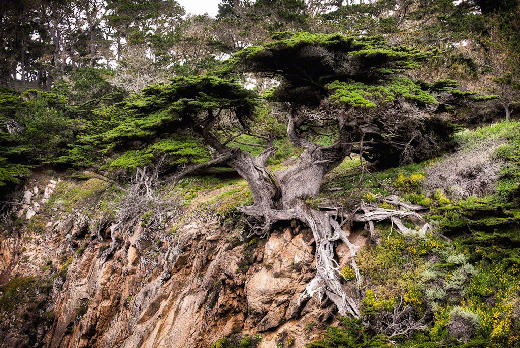Point Lobos Tree on the Hillside